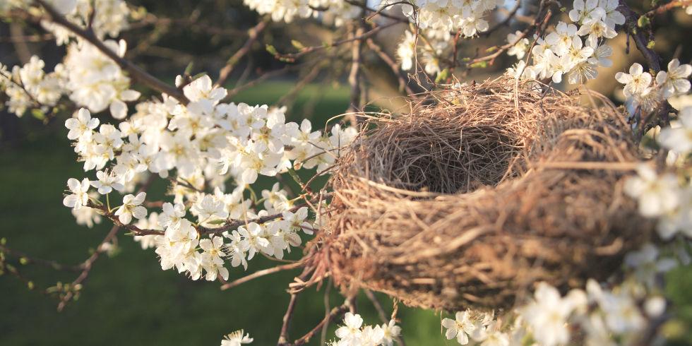 Birds nest in a blossom tree in Spring