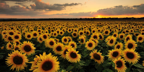 Why everyone is mesmerised by this video of a sunflower field