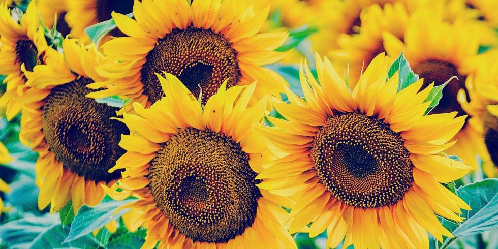 tips and tricks to get the most out of your sunflowers, Beautiful flower