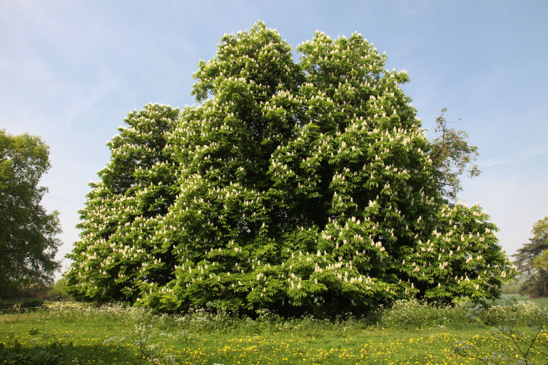 Fact File The horse chestnut tree