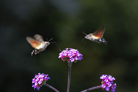 How to Raise Privet Hawk Moths