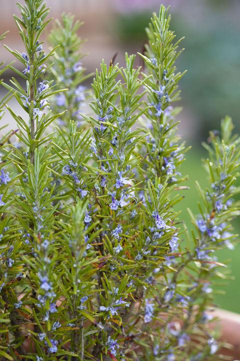 Garden Bush: 10 Of The Best Herbs To Grow In Your Garden