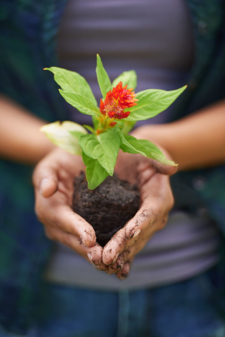 Green and red plant in the hands of a gardener