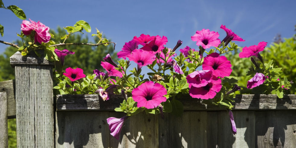 Petunia on old wooden fence (Petunia x hybrida Purple Wave)
