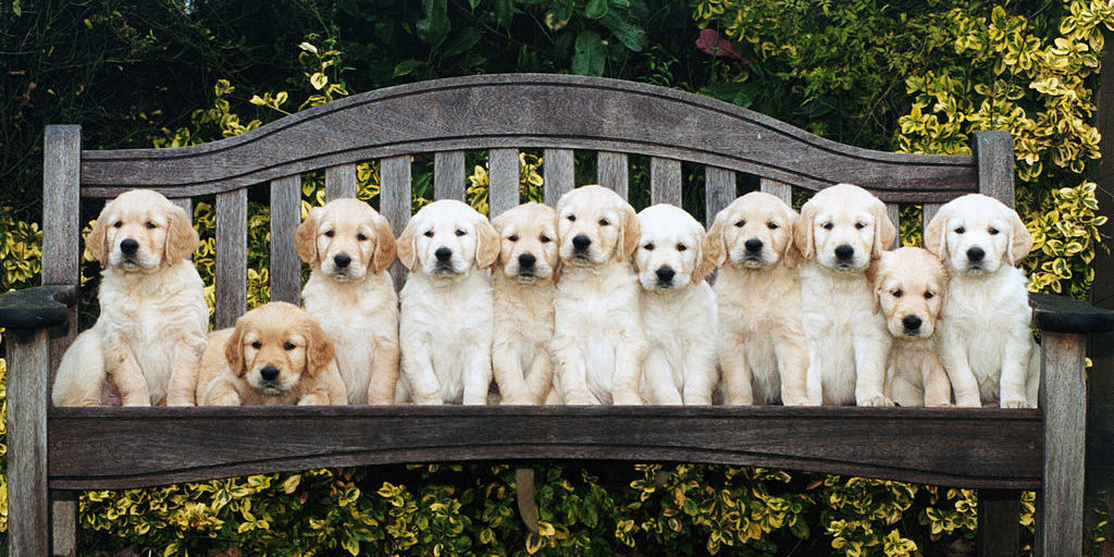 Guide Dog Test New Test Reveals Which Puppies Will Make